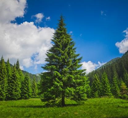 El Pino, árbol nacional de Honduras, símbolo patrio