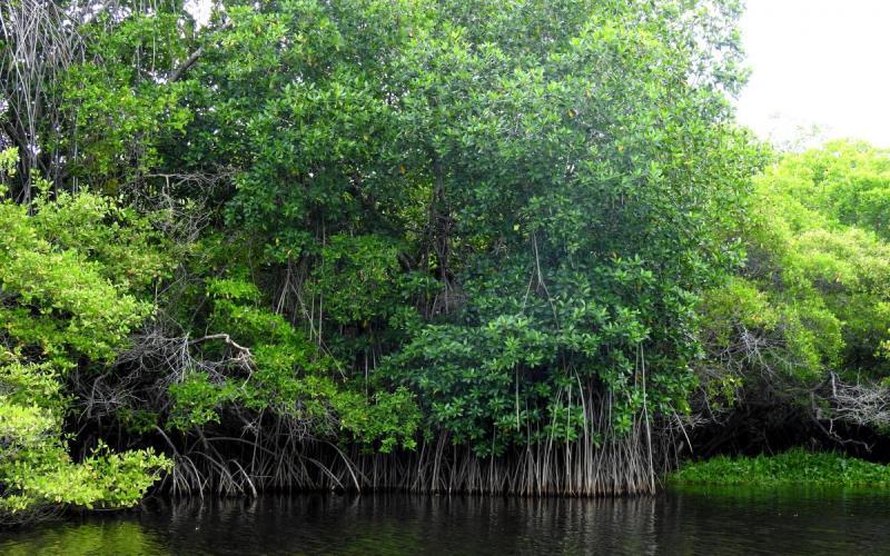 Coddeffagolf realiza reforestación de mangle en Bahía de Chismuyo