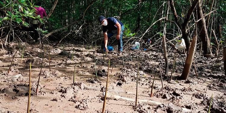 Coddeffagolf hizo reforestación con mangle en Bahía de Chismuyo