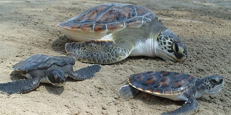 Proyecto Veda 2020 liberará tortugas golfinas