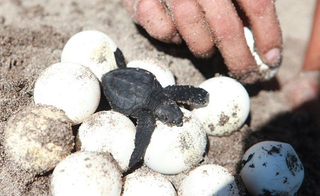 Se recolectaron más de 70 mil huevos de tortuga en Choluteca
