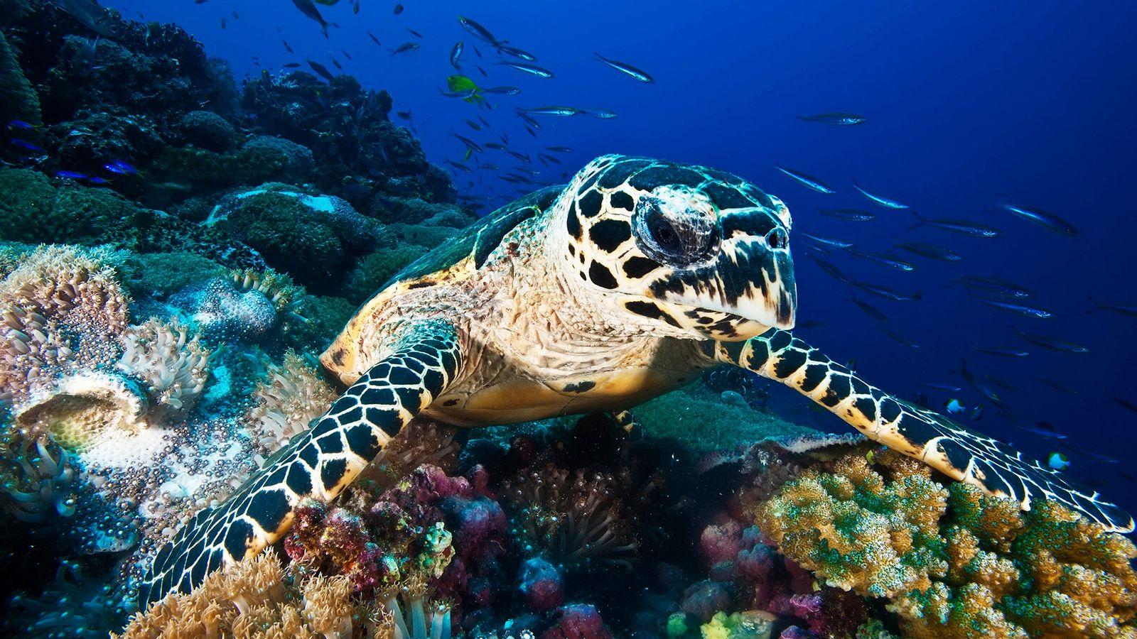 Voluntarios liberan a 100 tortugas de carey en Guanaja