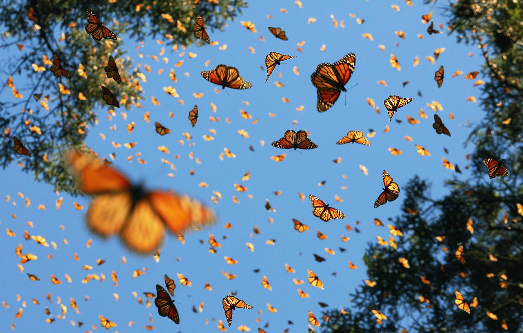 Algunas de las especies de mariposas que habitan en Honduras