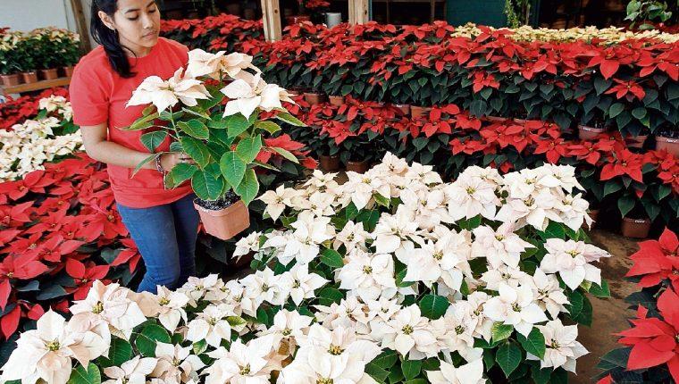 Flor de pascua, símbolo navideño