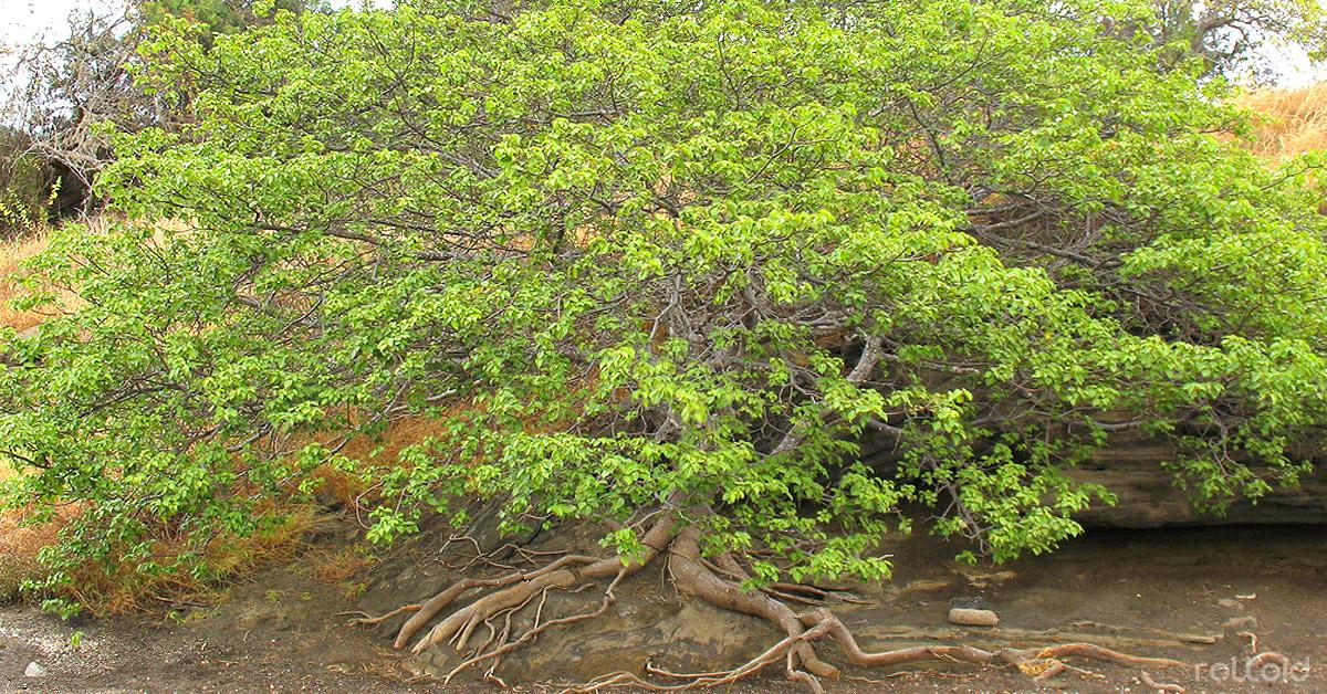 Datos sobre «El árbol de la muerte» que crece en Honduras