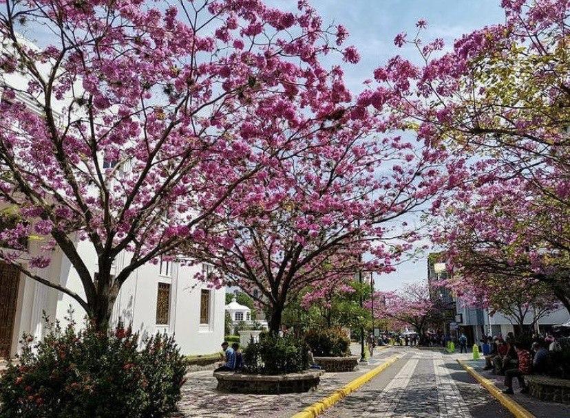 Macuelizo, árbol que embellece las calles de Honduras