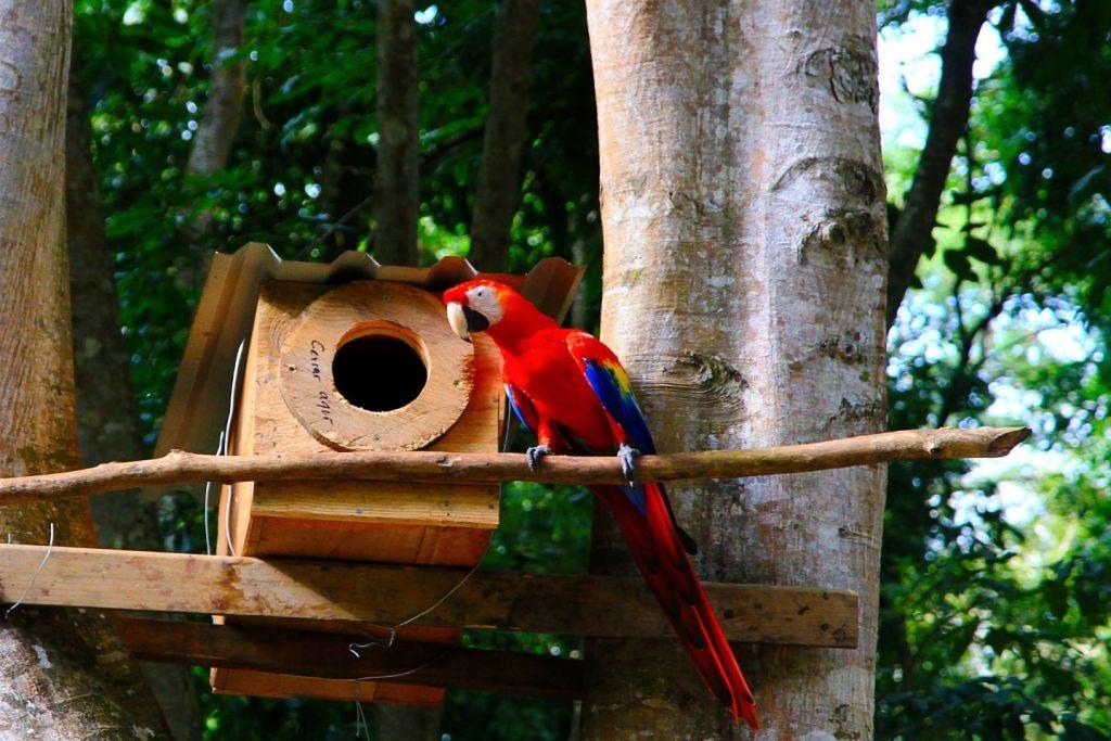 Liberan 10 guacamayas rojas en Copán Ruinas