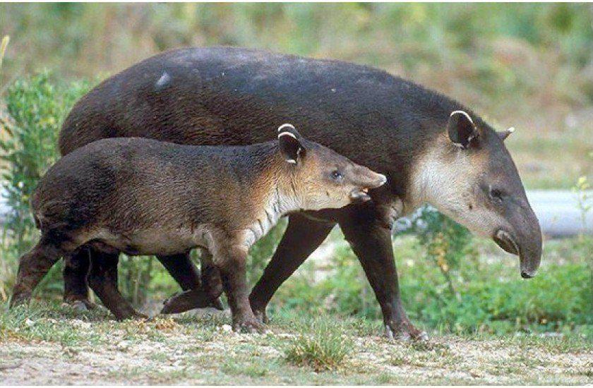 Tapir o Danto mamífero en Honduras