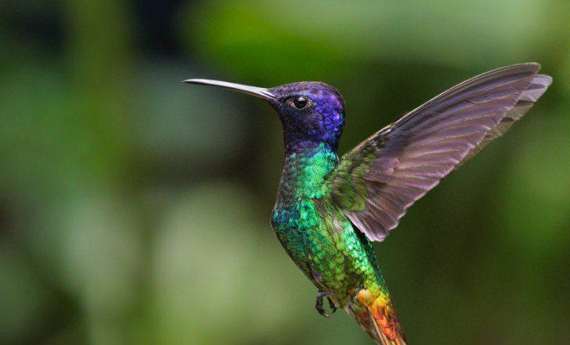 El Colibrí Esmeralda única ave endémica de Honduras